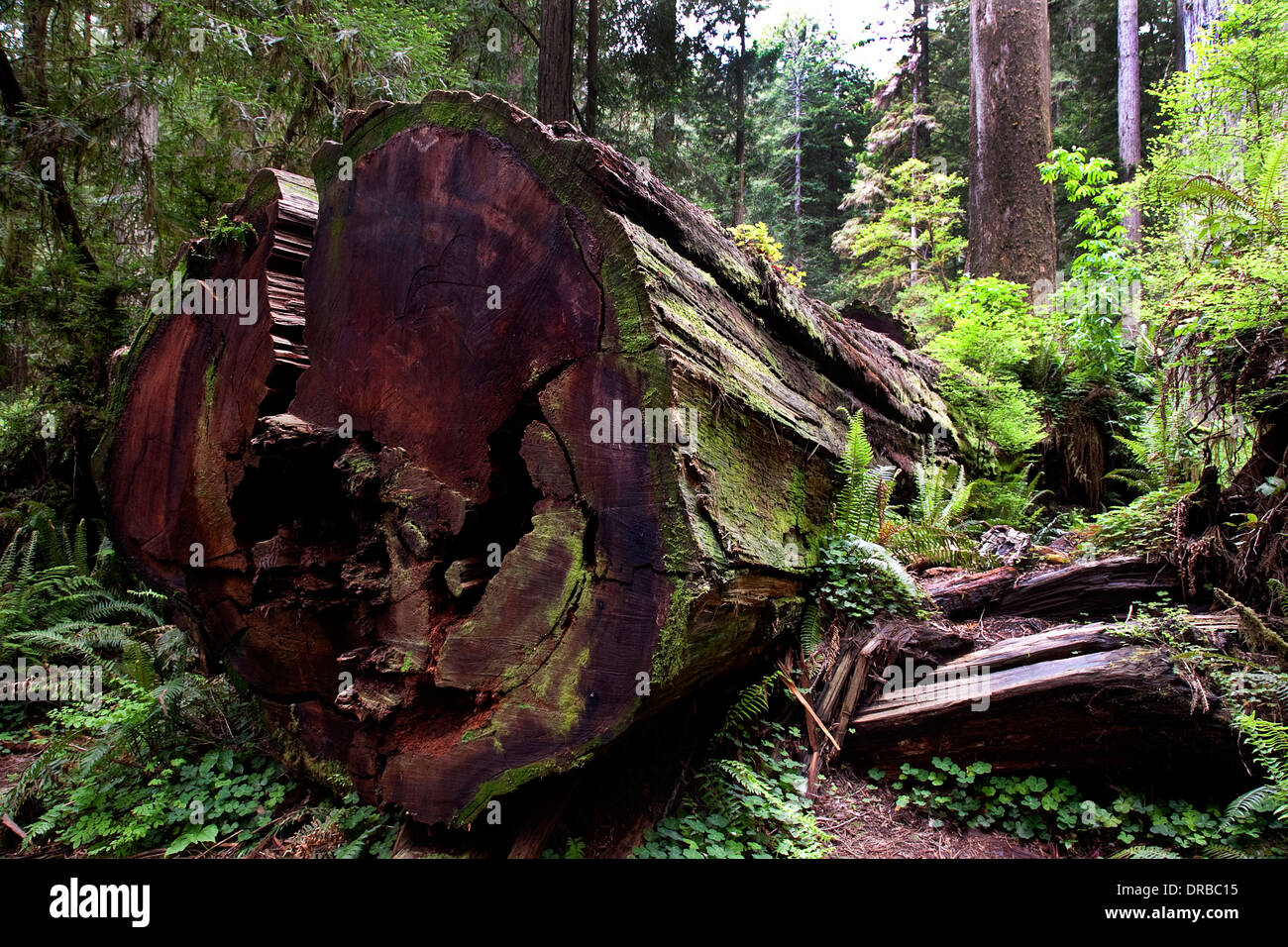 Giant Redwood tree on the floor of a Redwood forest in the Redwoods National Park California USA - Stock Image