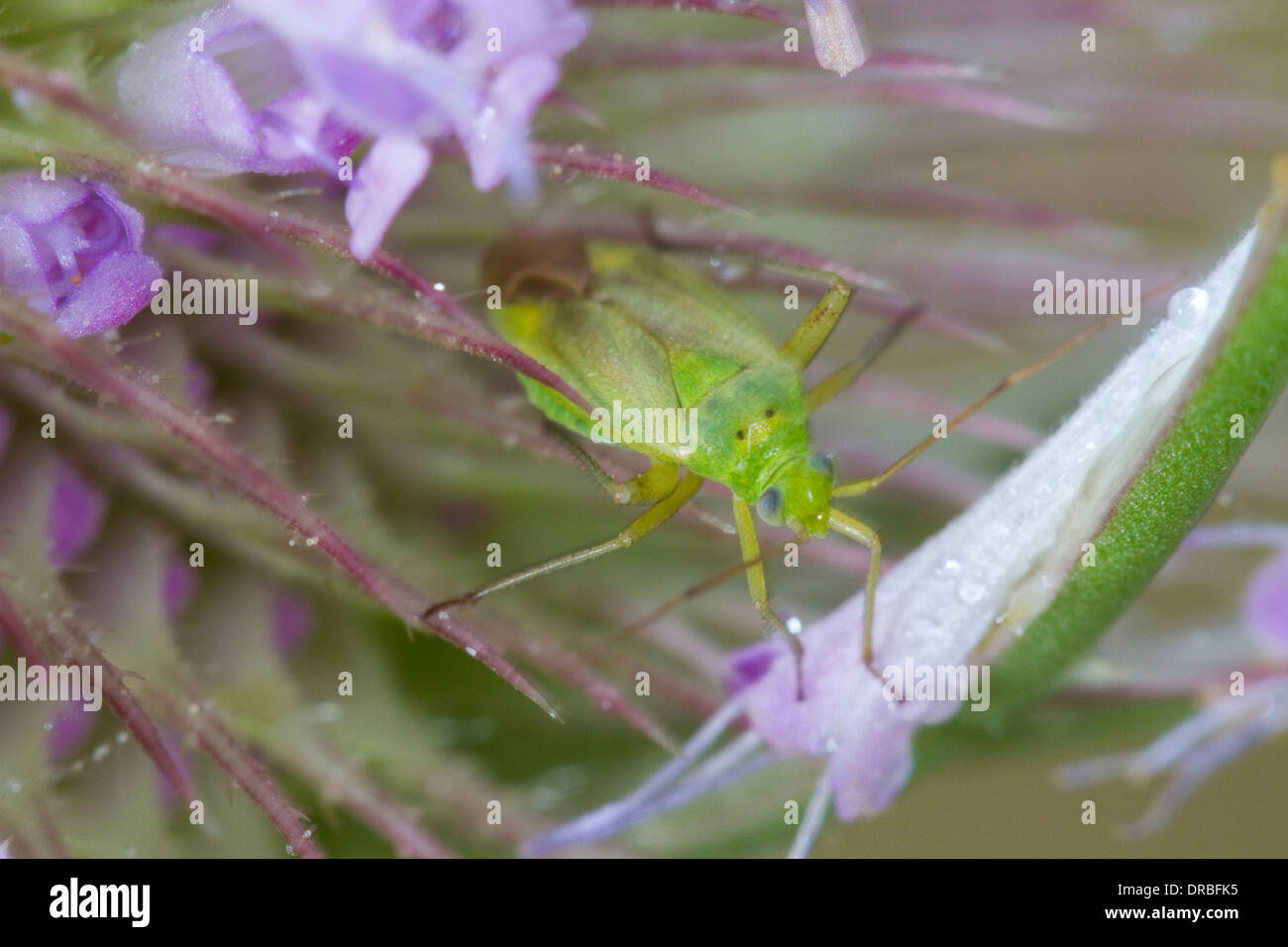 Capsid or Plant Bug (family Miridae) in a teasel flower. Shropshire, England. August. - Stock Image