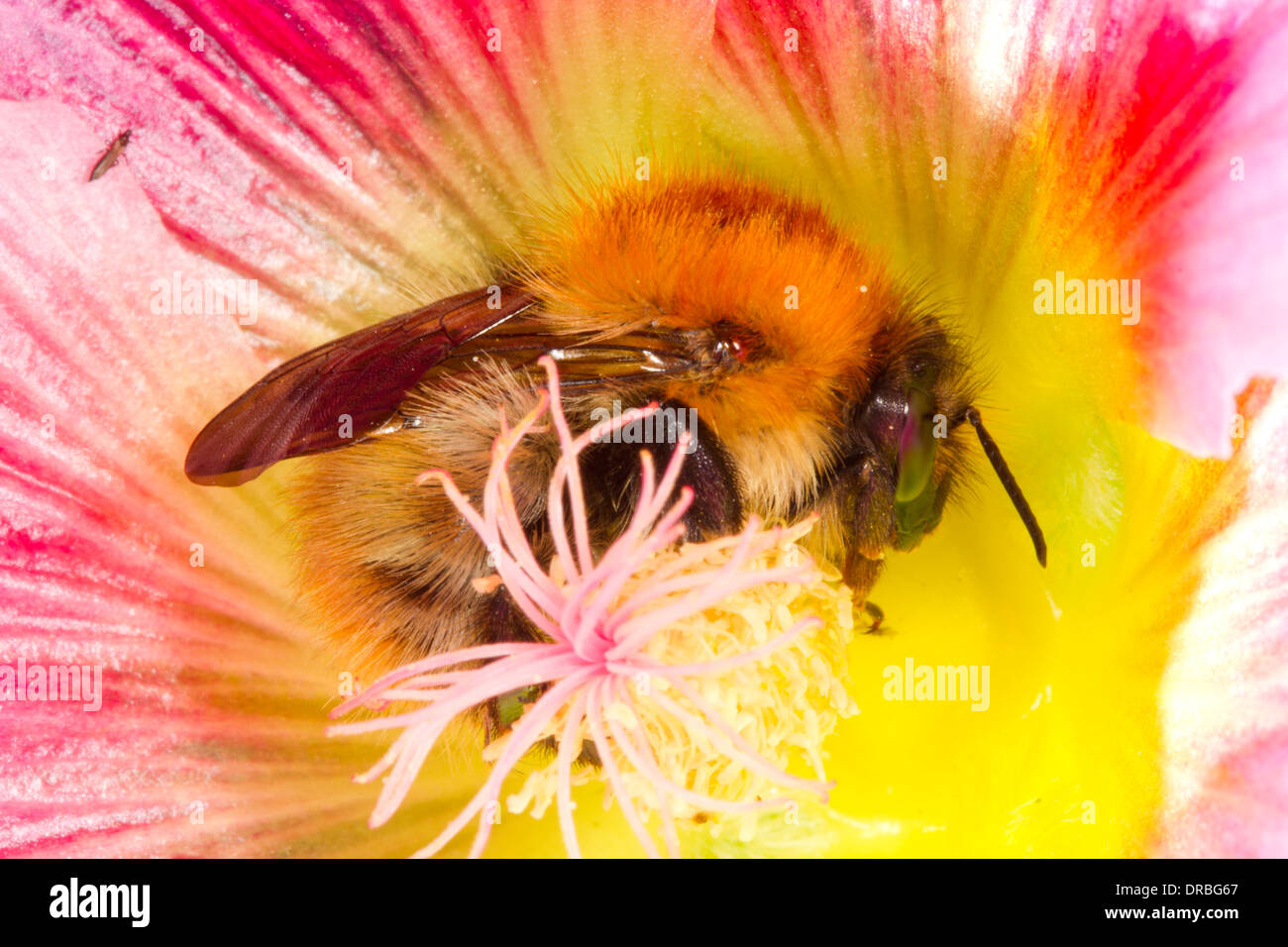 Common Carder Bumblebee (Bombus pascuorum) new queen in a hollyhock flower in a garden. Powys, Wales. September. - Stock Image