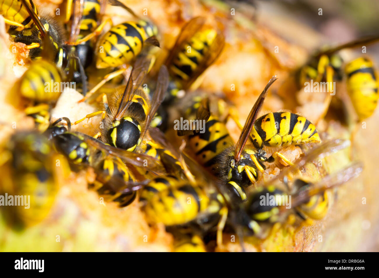 Common wasp workers (Vespula vulgaris) feeding on a fallen pear in a garden. Carmarthenshire, Wales. September. - Stock Image