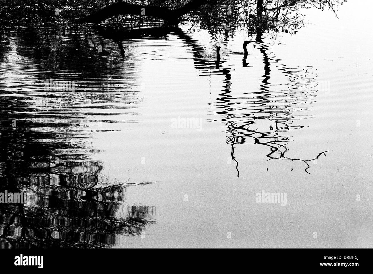 Darter birds swimming and reflection, Bharatpur Bird Sanctuary, Rajasthan, India, 1976 - Stock Image
