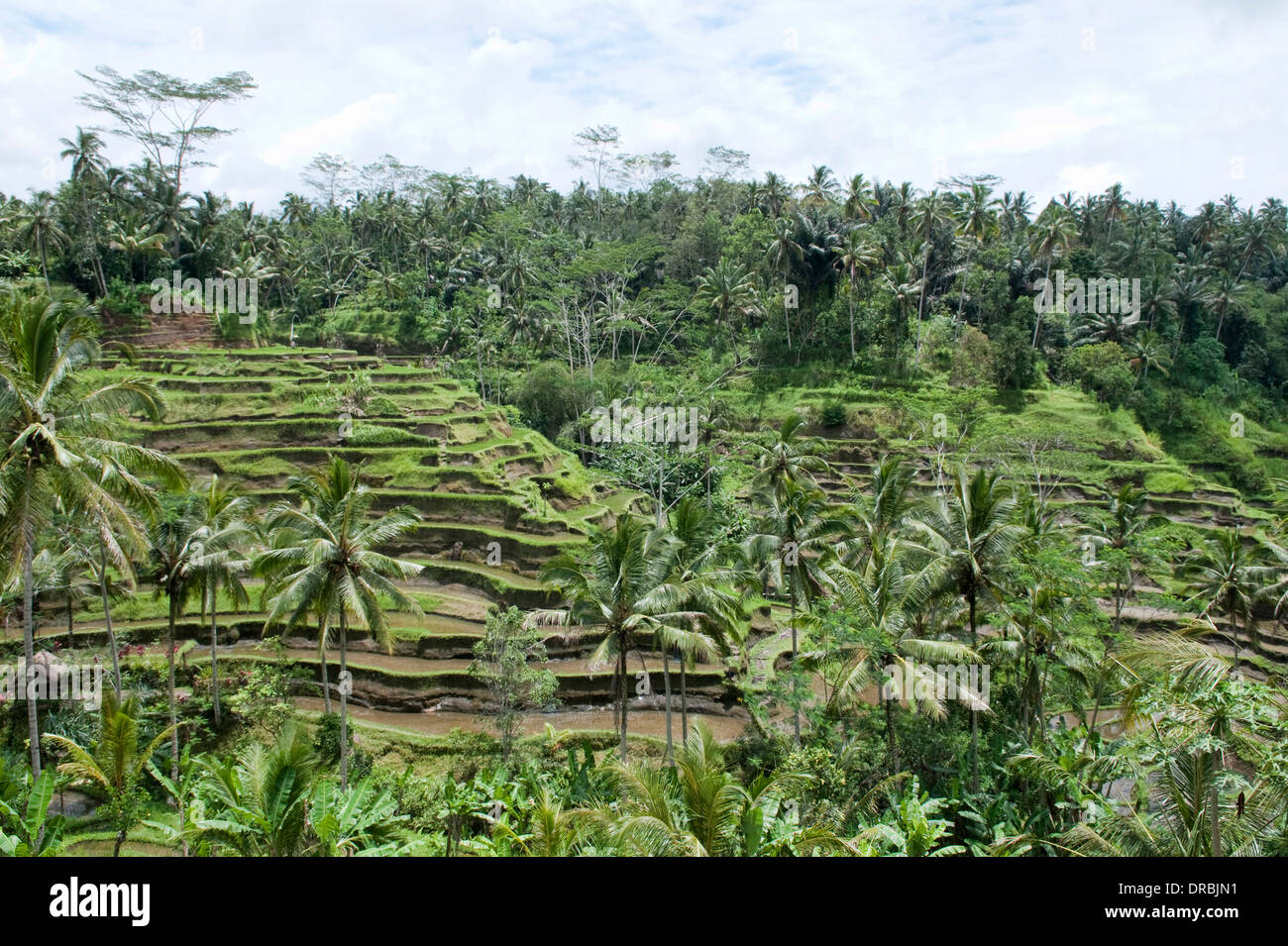 Terraced fields in Tegallalang, Bali, Indonesia - Stock Image