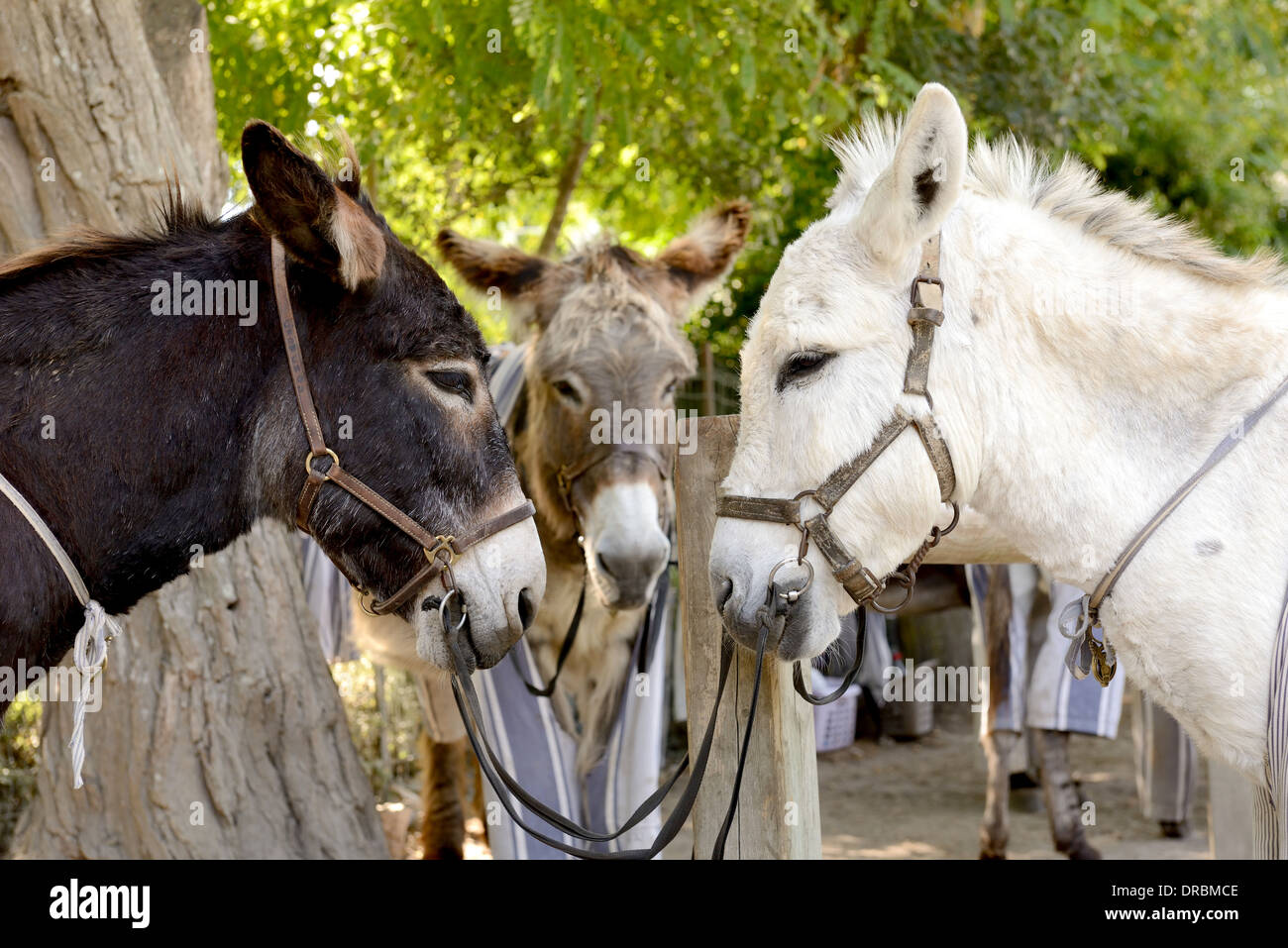 three donkeys coming together for a meeting head to head - Stock Image