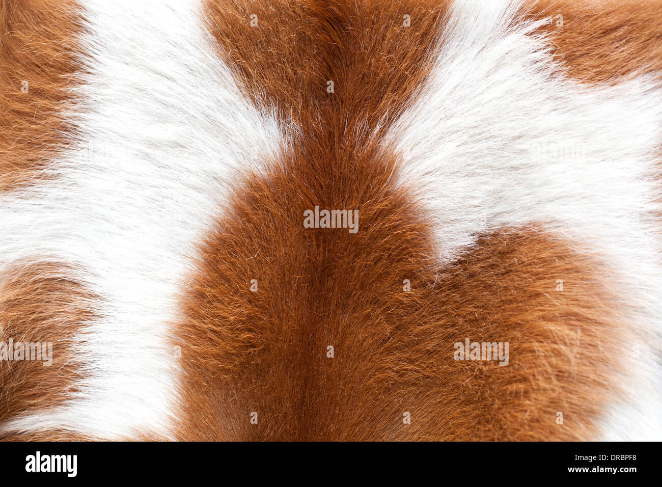 Brown and white cow fur background - Stock Image