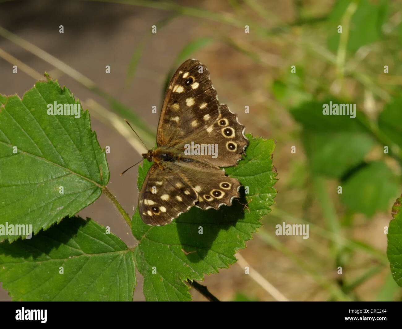 Speckled Wood Butterfly Pararge aegeria - Stock Image