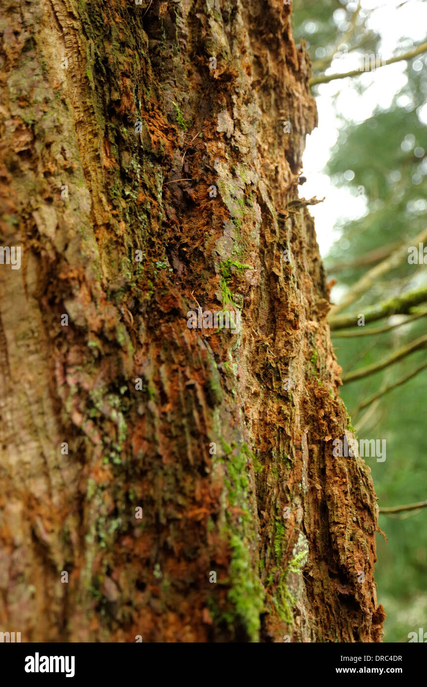 Wellingtonia Trunk / Bark, Sequoiadendron giganteum Stock Photo