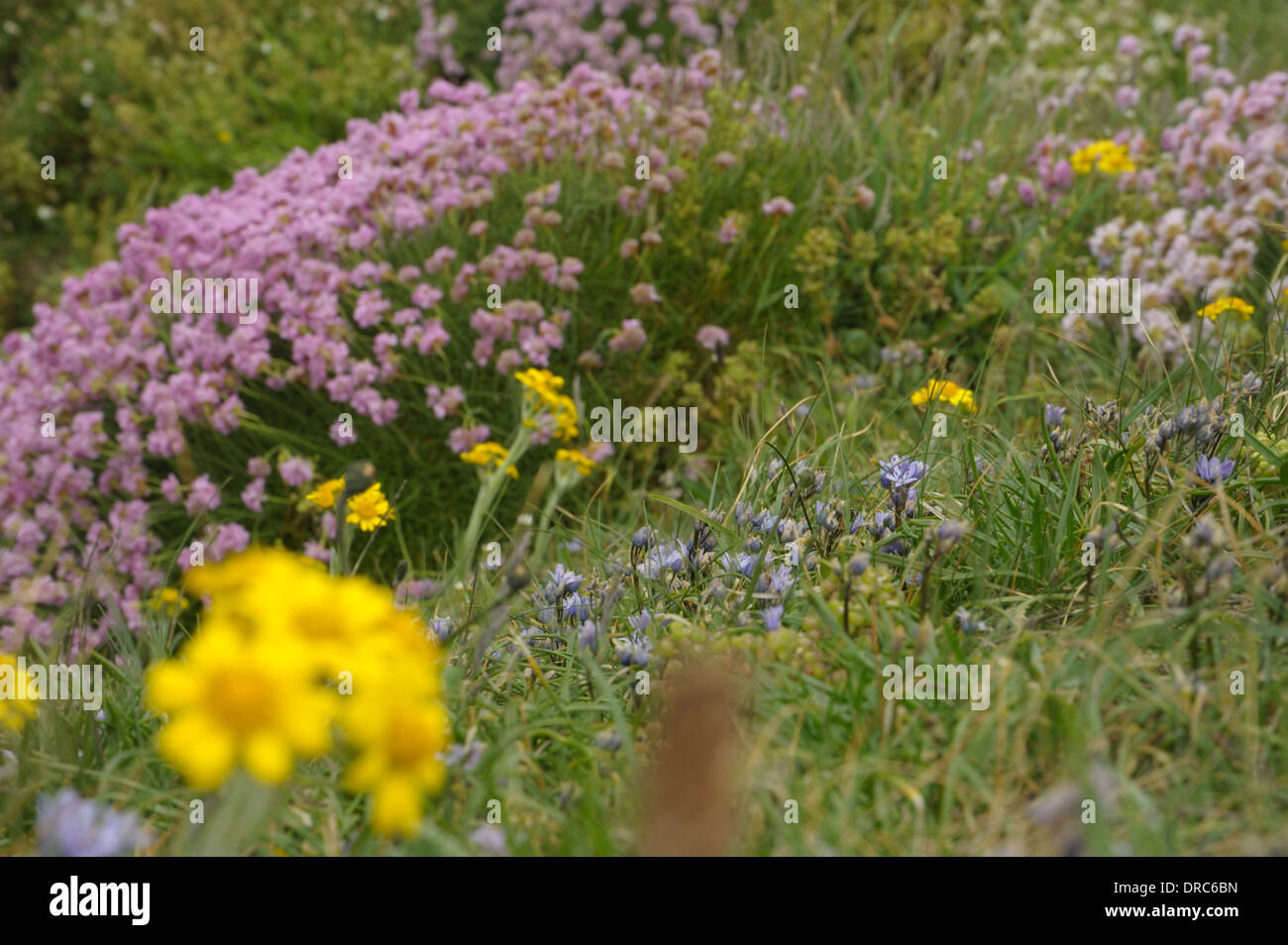 Spring Squill And Other Plants And Flowers At South Stack Stock