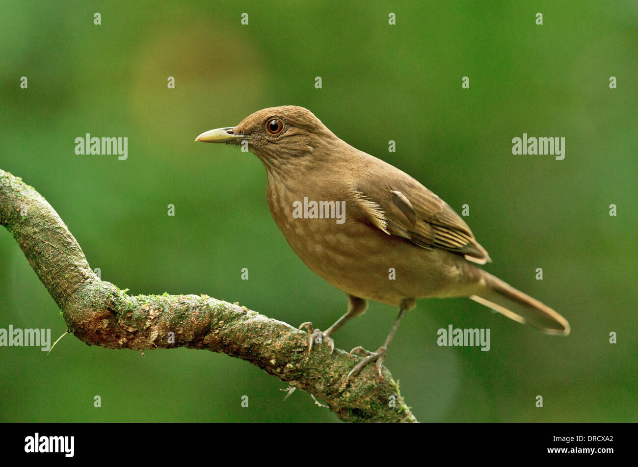 Clay colored Thrush (Robin) Stock Photo