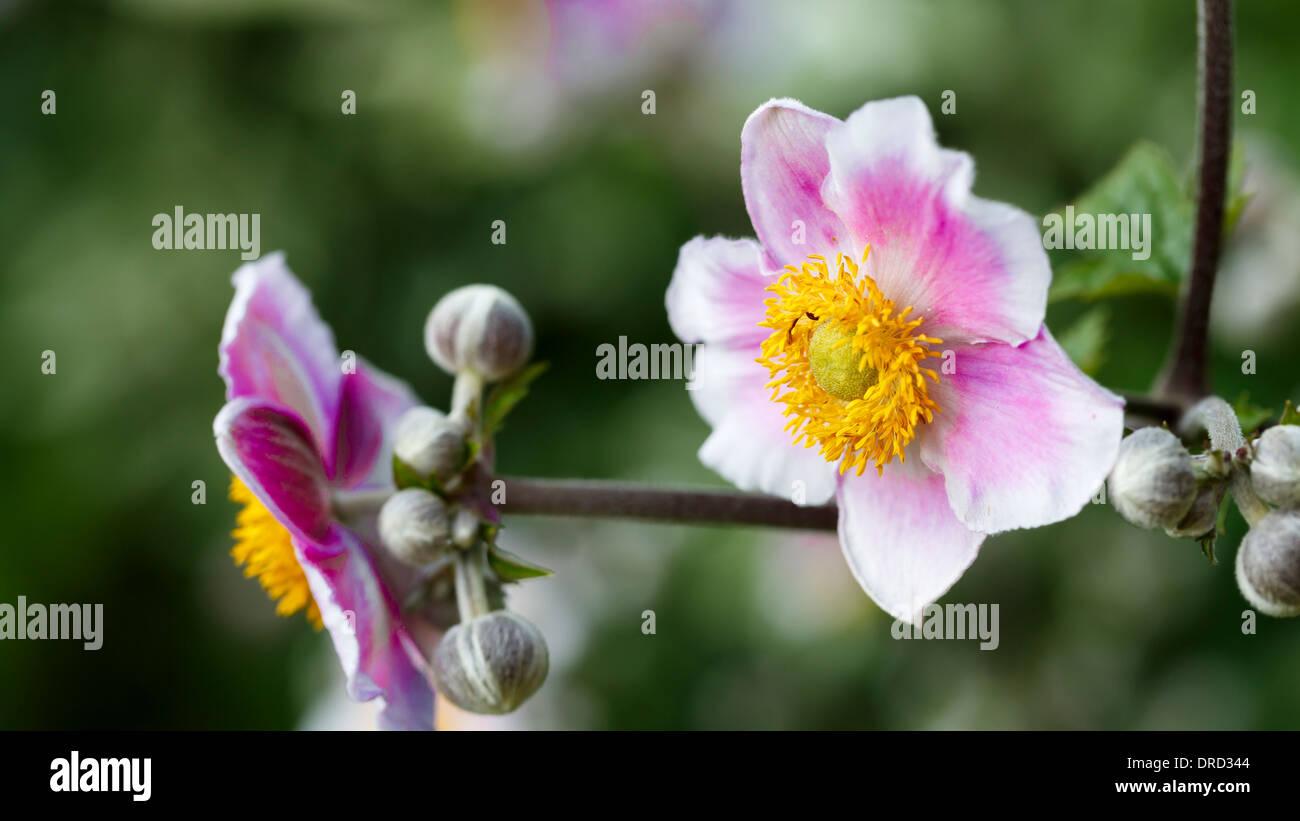 Flower in the garden - Stock Image