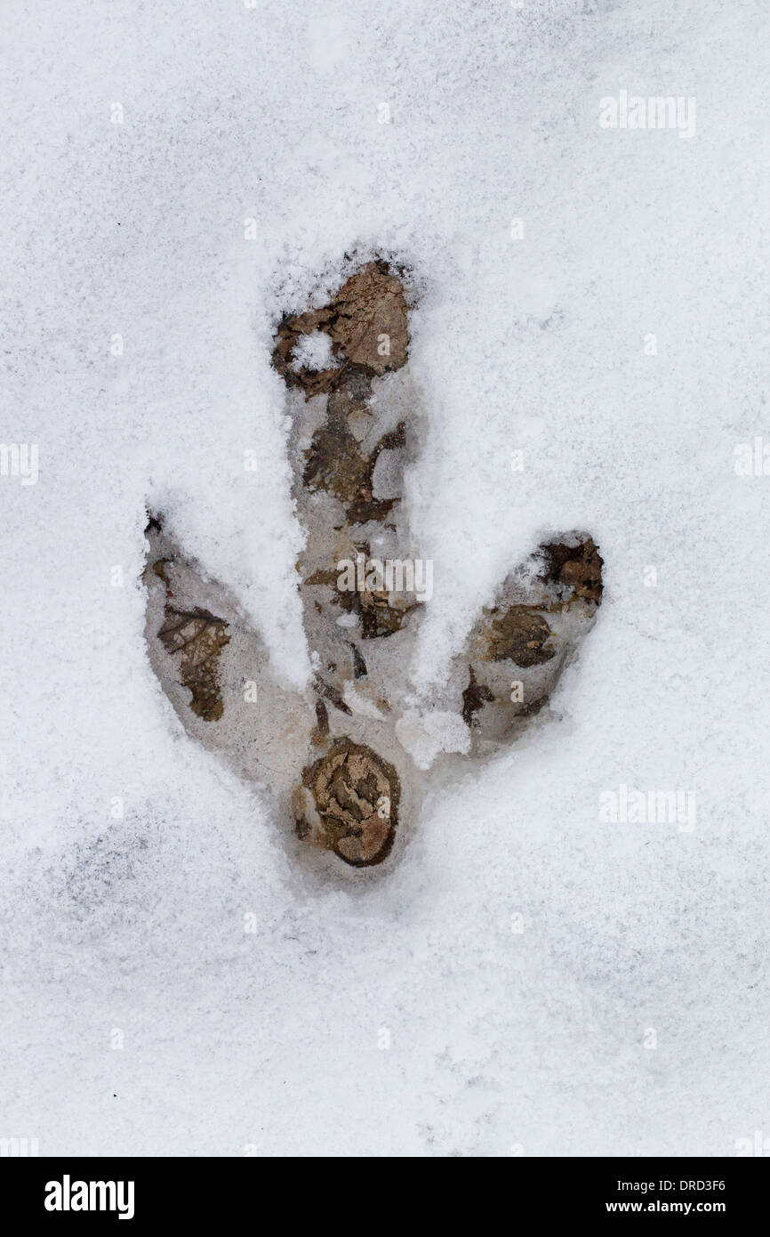 Greater Rhea / ñandú (Rhea americana) footprint in the snow in winter, flightless bird native to eastern South America Stock Photo