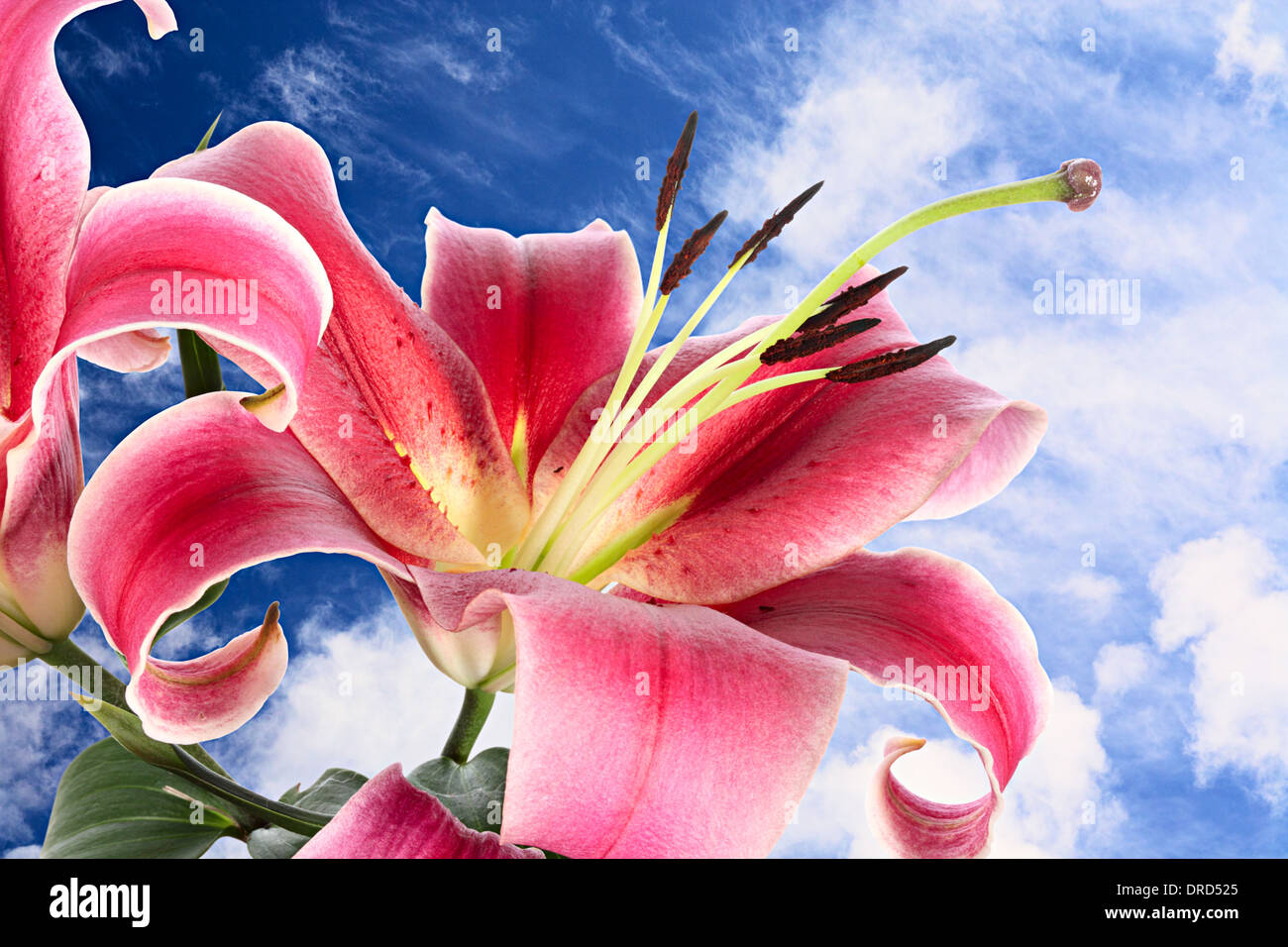 Unopened lily stock photos unopened lily stock images alamy grand pink flowers of lily on background of bottomless summer sky stock image izmirmasajfo