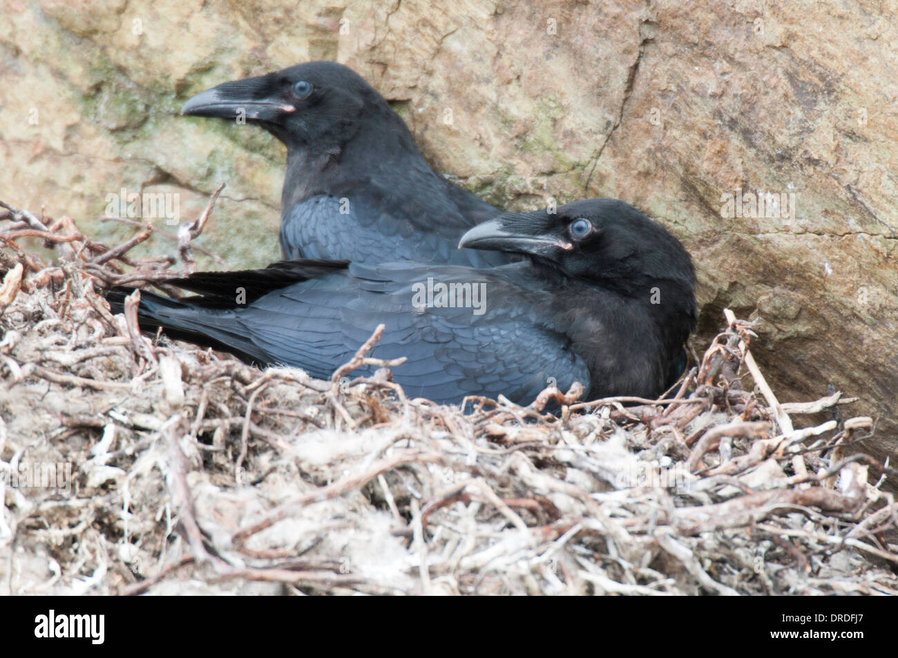 Pair of young Ravens at the nest. Stock Photo