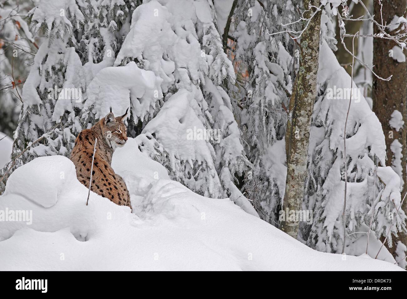 Eurasian Lynx in a snowy forest Stock Photo