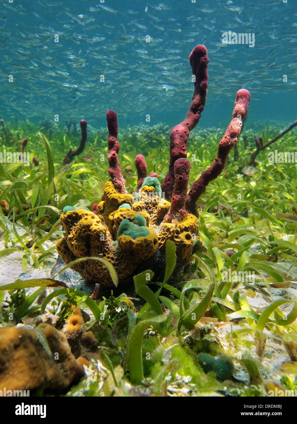 Underwater view of colorful sea sponge with seagrass and shoal of fish, Caribbean sea, Colombia - Stock Image