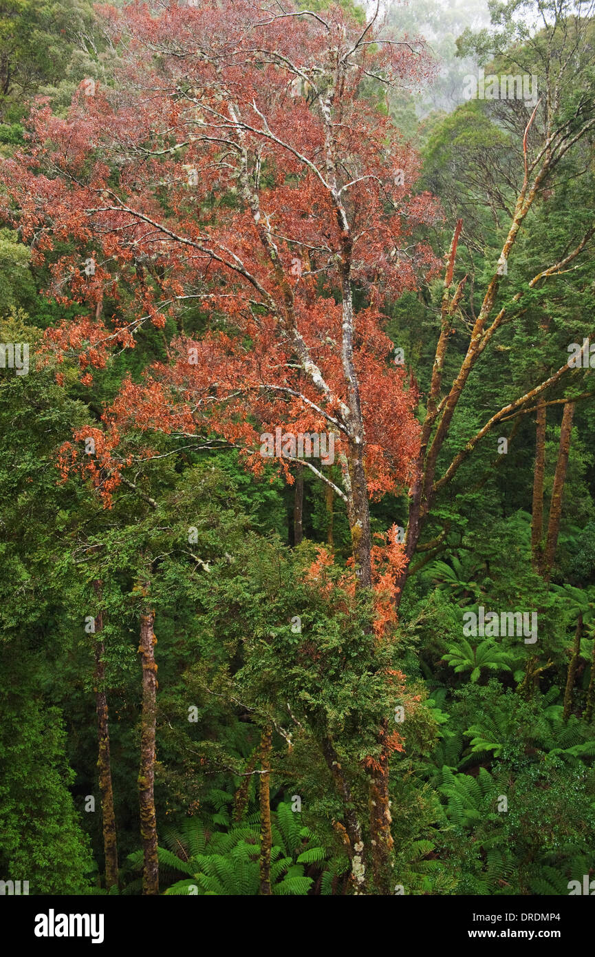 Rainforest in the rain from the Tree Top Walk of Otway Fly up to 30 meters above ground level,Great Ocean Road, Stock Photo