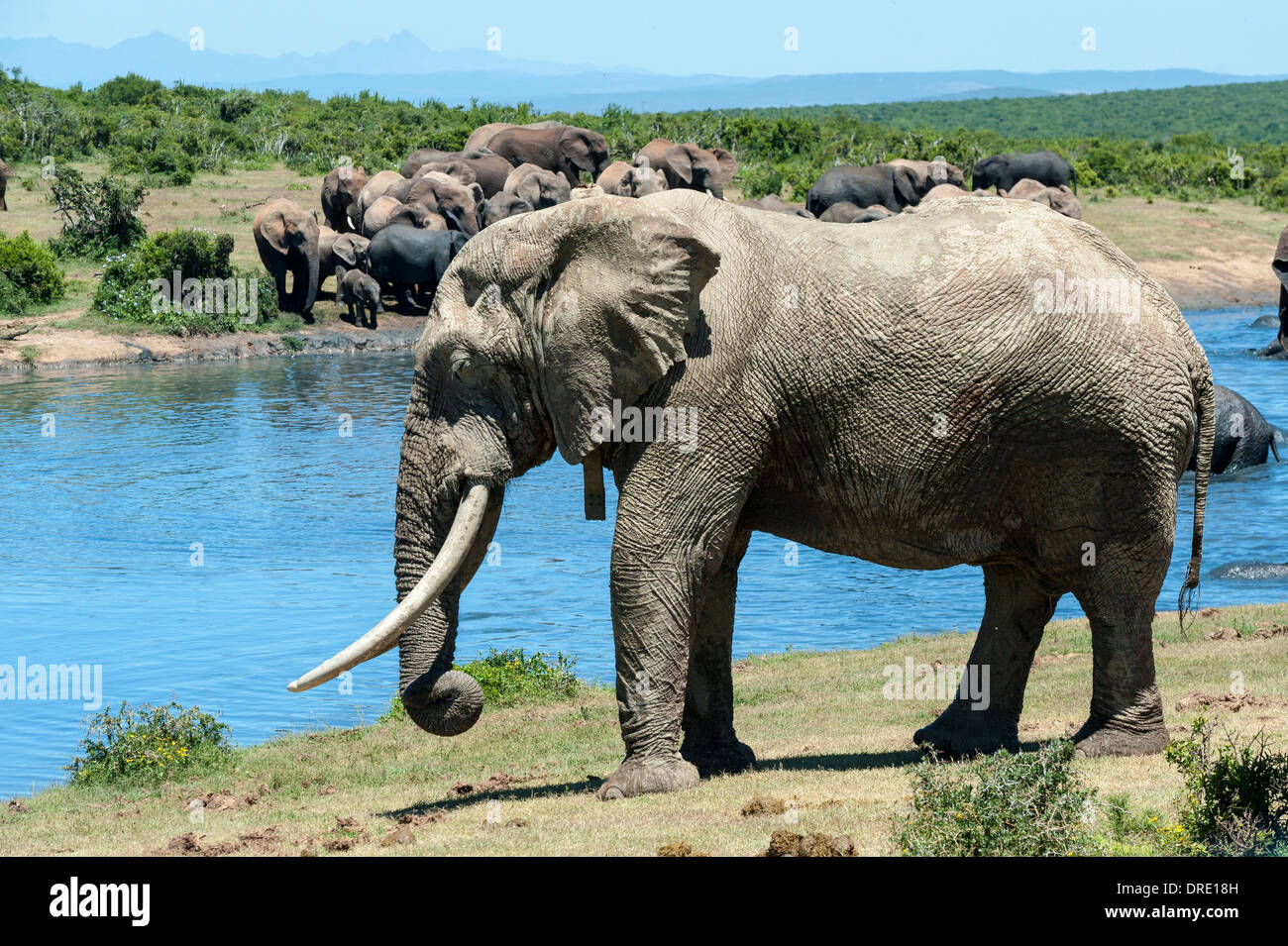 Elephant bull (Loxodonta africana) with tracking collar at Gwarrie Pan waterhole, Addo Elephant Park, Eastern Cape, South Africa - Stock Image