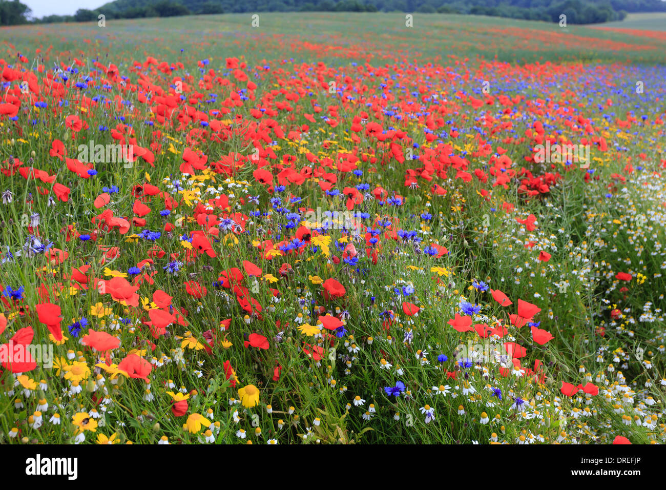 Rapeseed field invaded by arable weeds, cornflower, poppies, chamomile (white) and Corn Marigold (yellow), France, Calvados - Stock Image