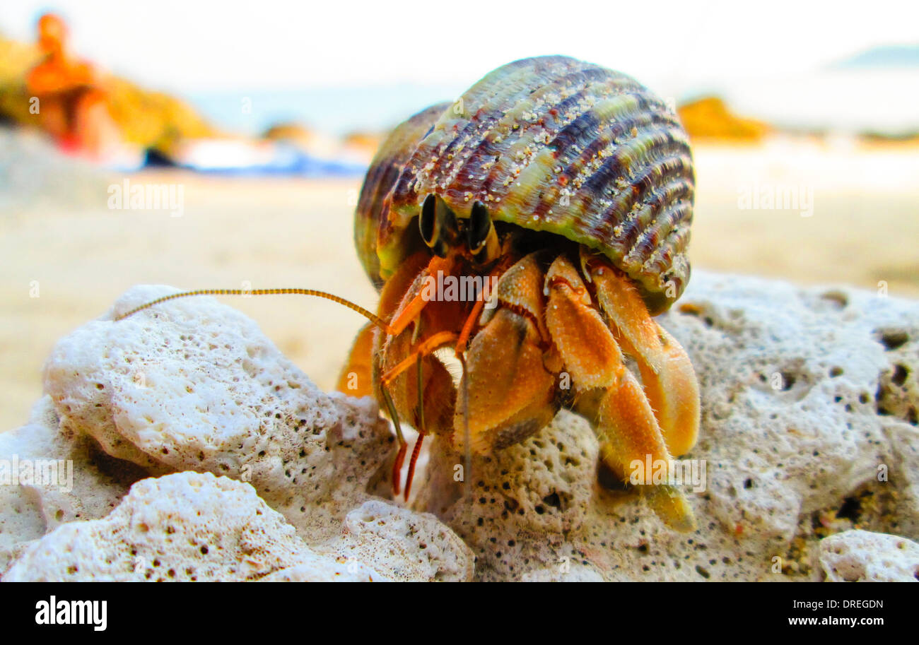 hermit crab is climing over a coral rock. behind in the blurred background people on beach towel. - Stock Image