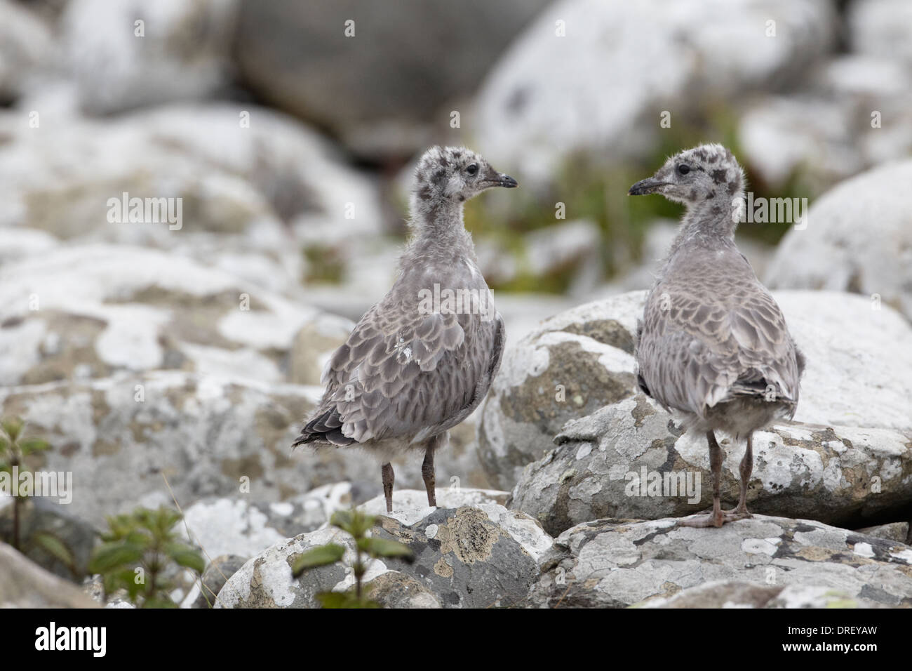 Common gull (Larus canus) young waiting among rocks for parent to return with food - Stock Image