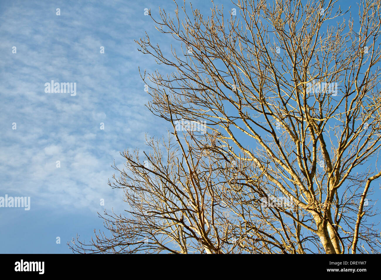 A view of an ash tree from below with sunlit bare branches against a blue sky with clouds - Stock Image