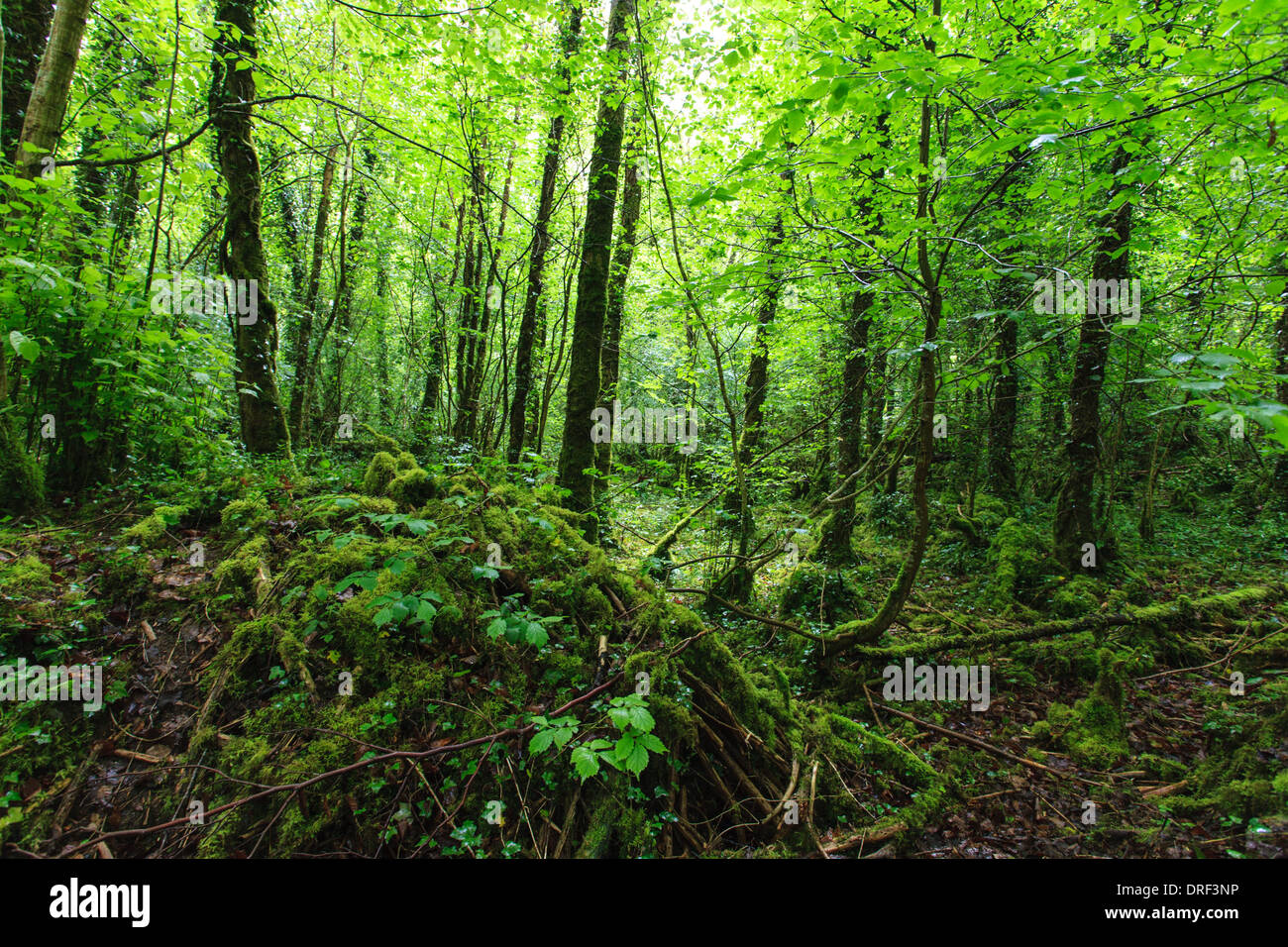 hidden forest glade at The Burren, County Clare, Ireland - Stock Image