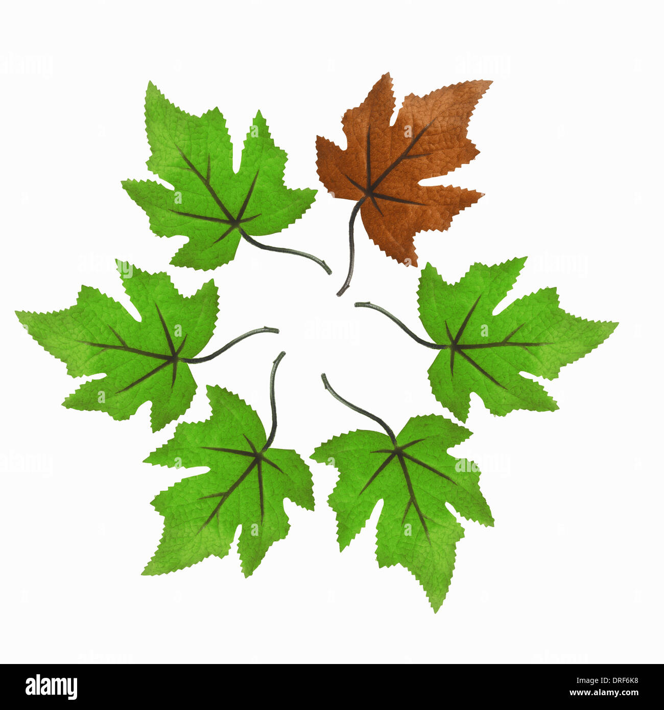 maple leaves circle one brown among green - Stock Image