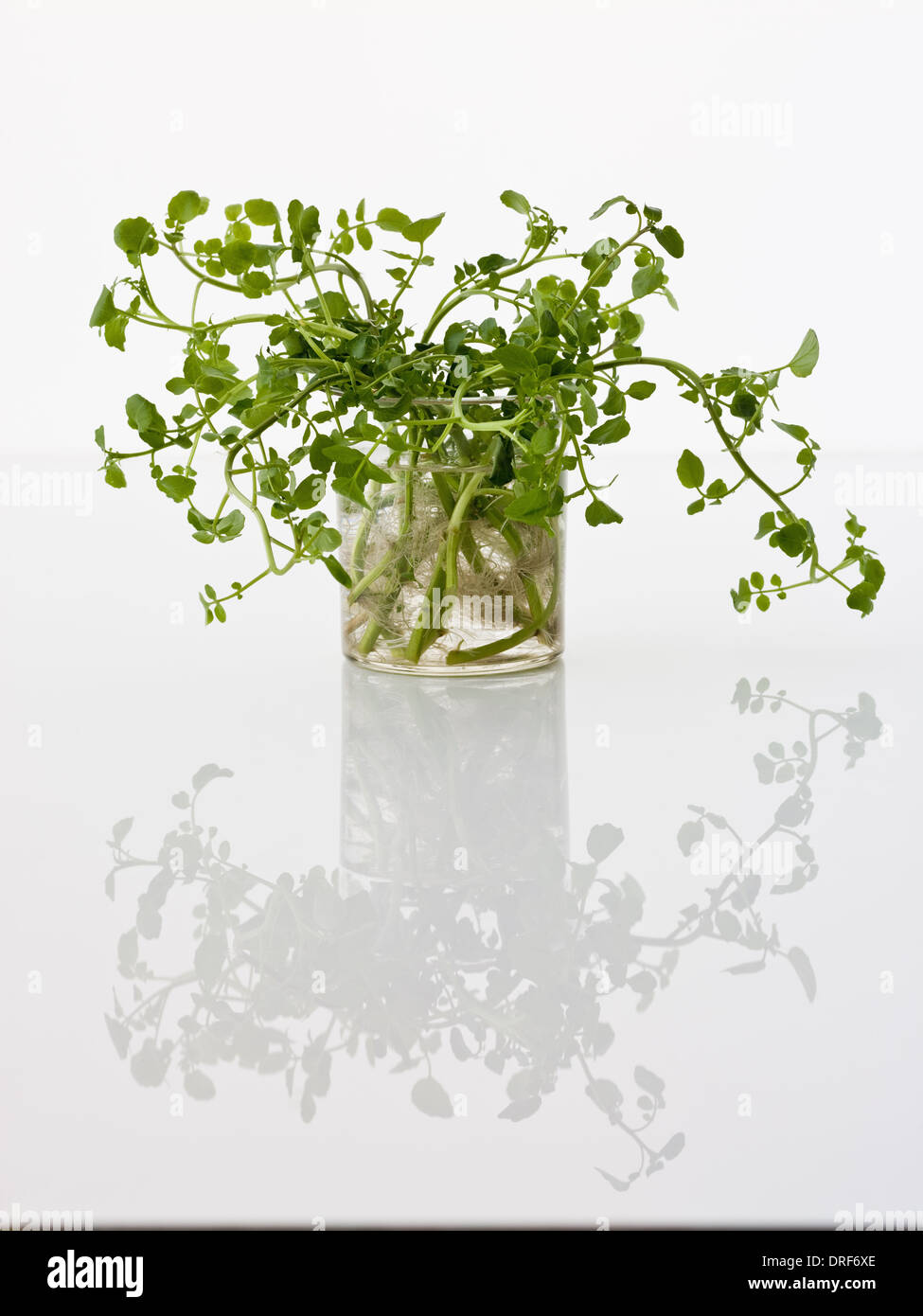 Maryland USA delicate plant green leaves white background - Stock Image