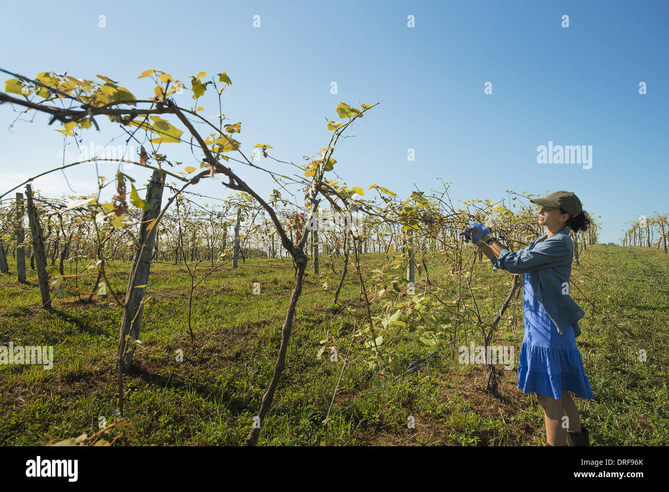 New York state USA vineyard with young vines trained along wires - Stock Image
