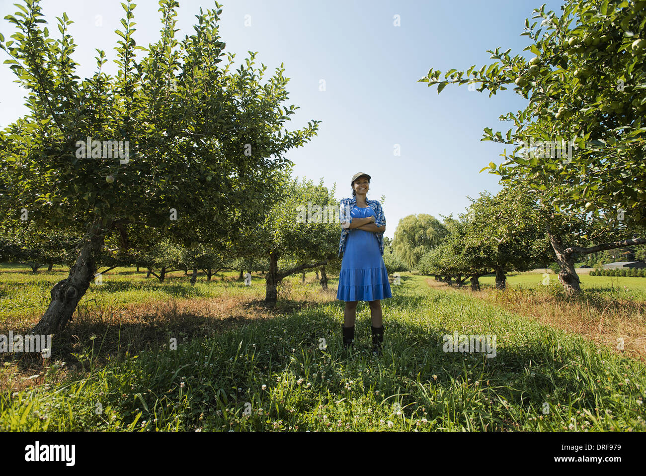 New York state USA woman picking apples in an orchard of fruit trees - Stock Image