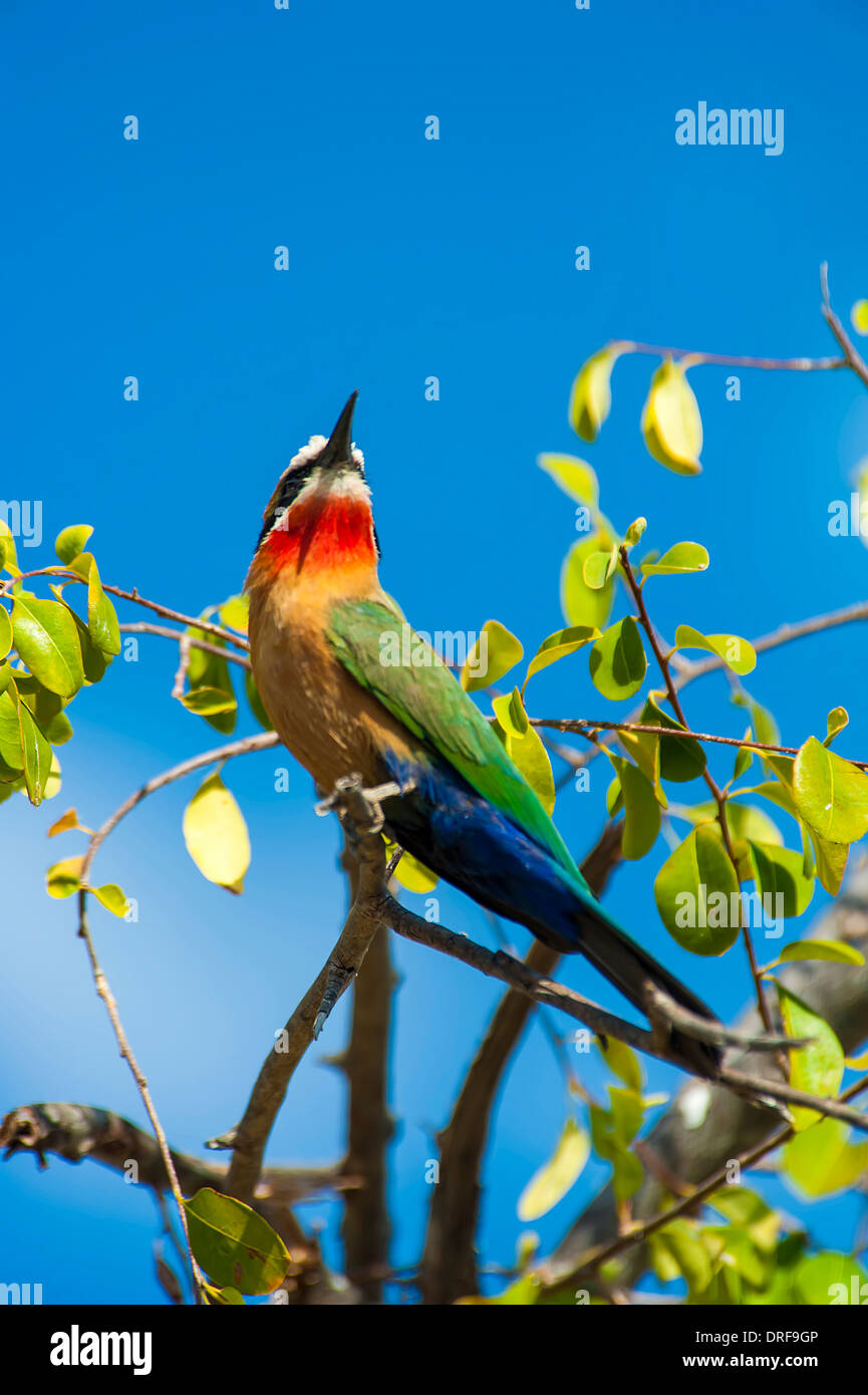 Rainbow Bee-eater sitting in a tree. - Stock Image