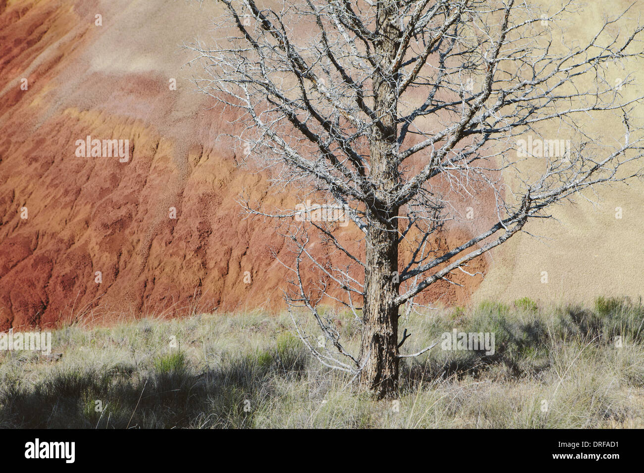 Oregon USA Bare tree among volcanic geological landscape - Stock Image
