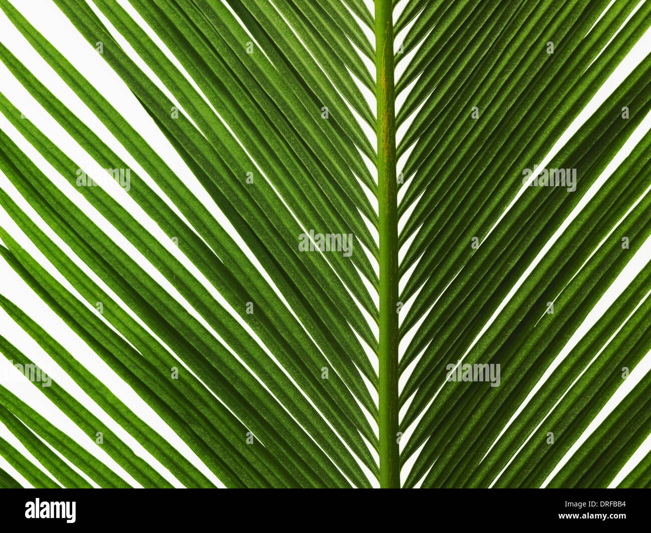 glossy green palm leaf close up with central rib - Stock Image