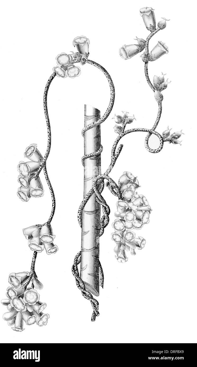 Cascuta Verrucosa. Warty Dodder - Stock Image