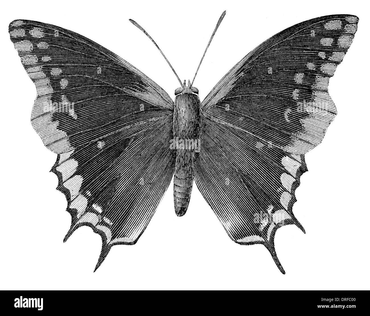 Nymphalis Jasius Charaxes jasius, the Two-tailed Pasha or Foxy Emperor, is a butterfly in the family Nymphalidae. - Stock Image