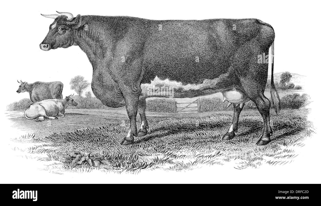 Short Horned Cow. Bred by Mr Booth Warlaby. Yorkshire circa 1880 Stock Photo