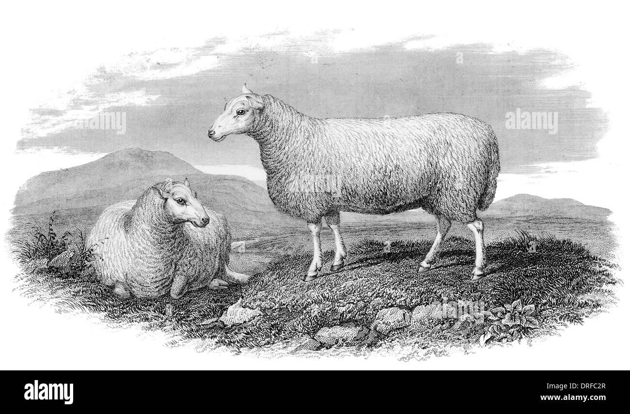 Cheviot Ewe circa 1880 - Stock Image