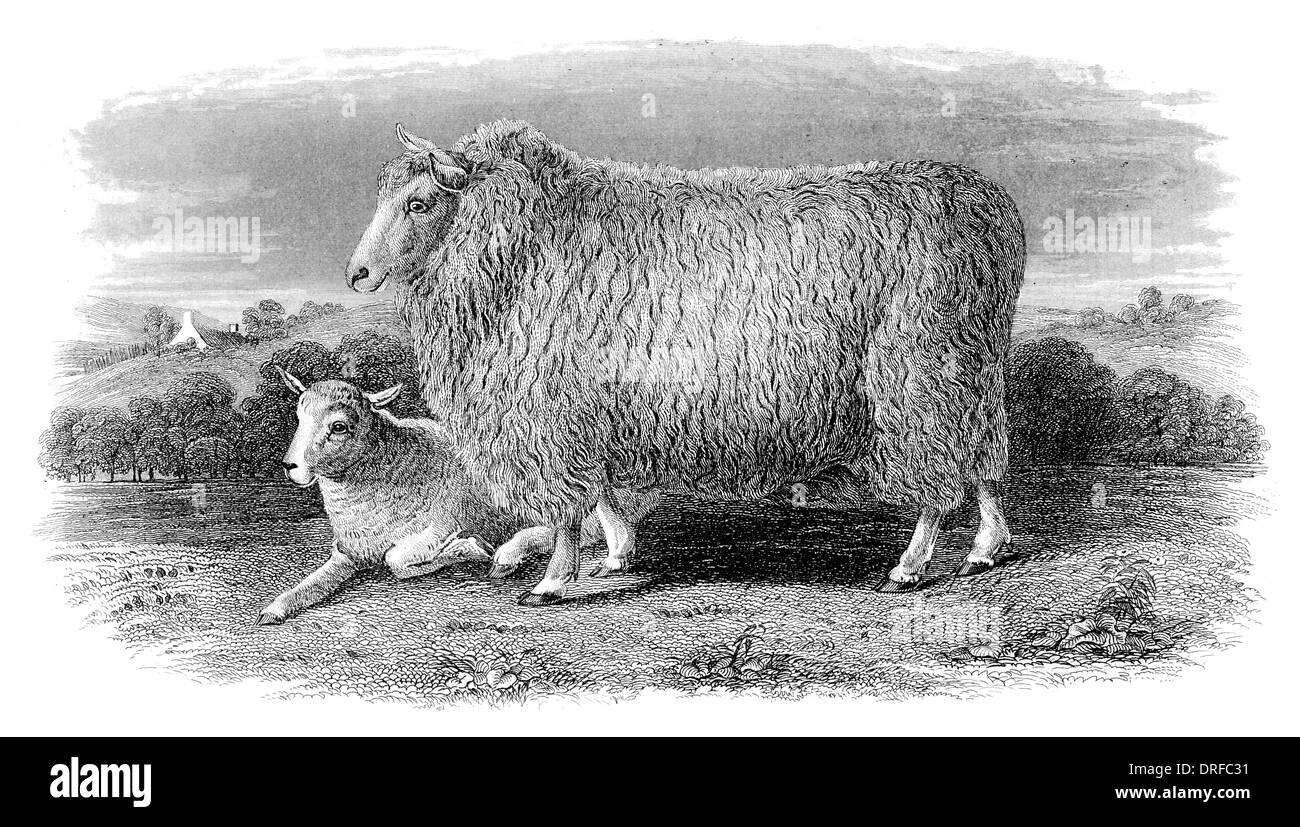 Romney Marsh Ewe in her second fleece circa 1880 - Stock Image