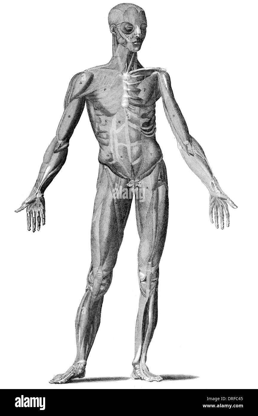 Cut away view of the male human body - Stock Image