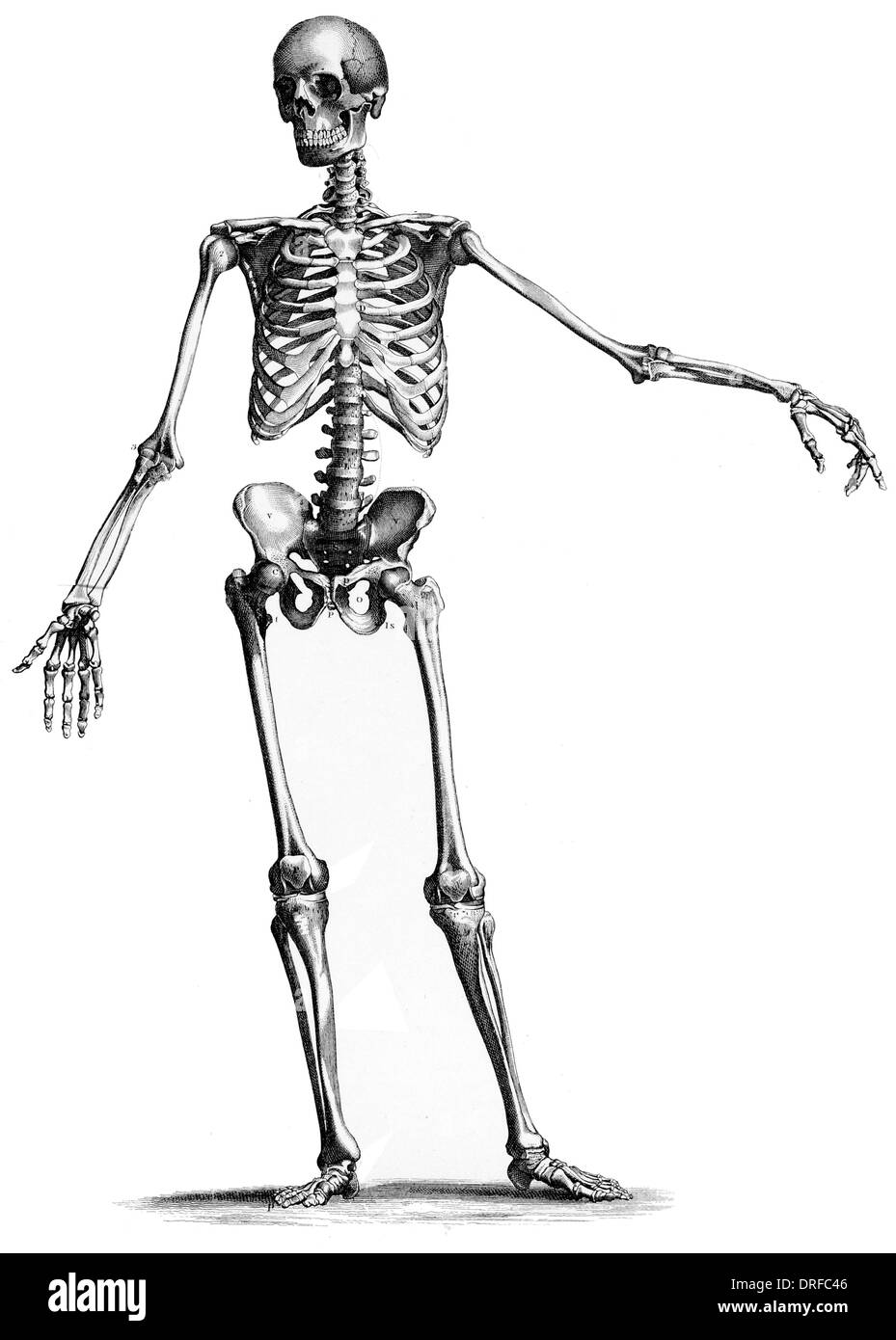 front frontal view standing skeleton of human body - Stock Image