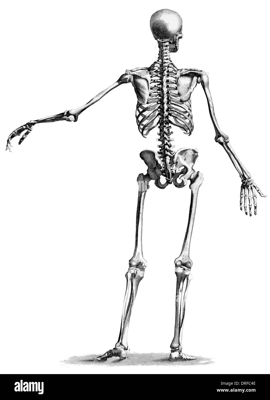 back rear view standing skeleton of human body - Stock Image