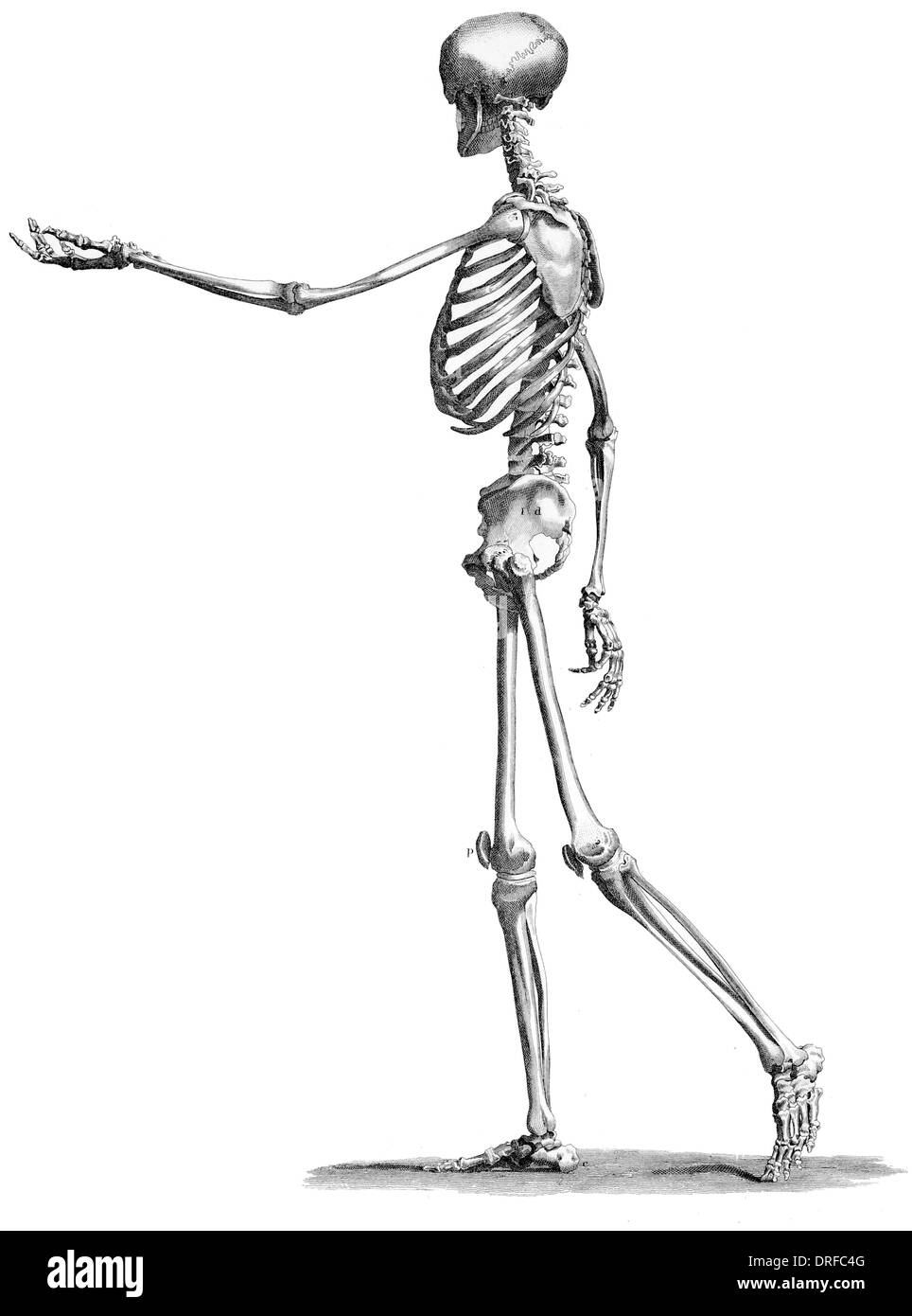 side view standing skeleton of human body - Stock Image