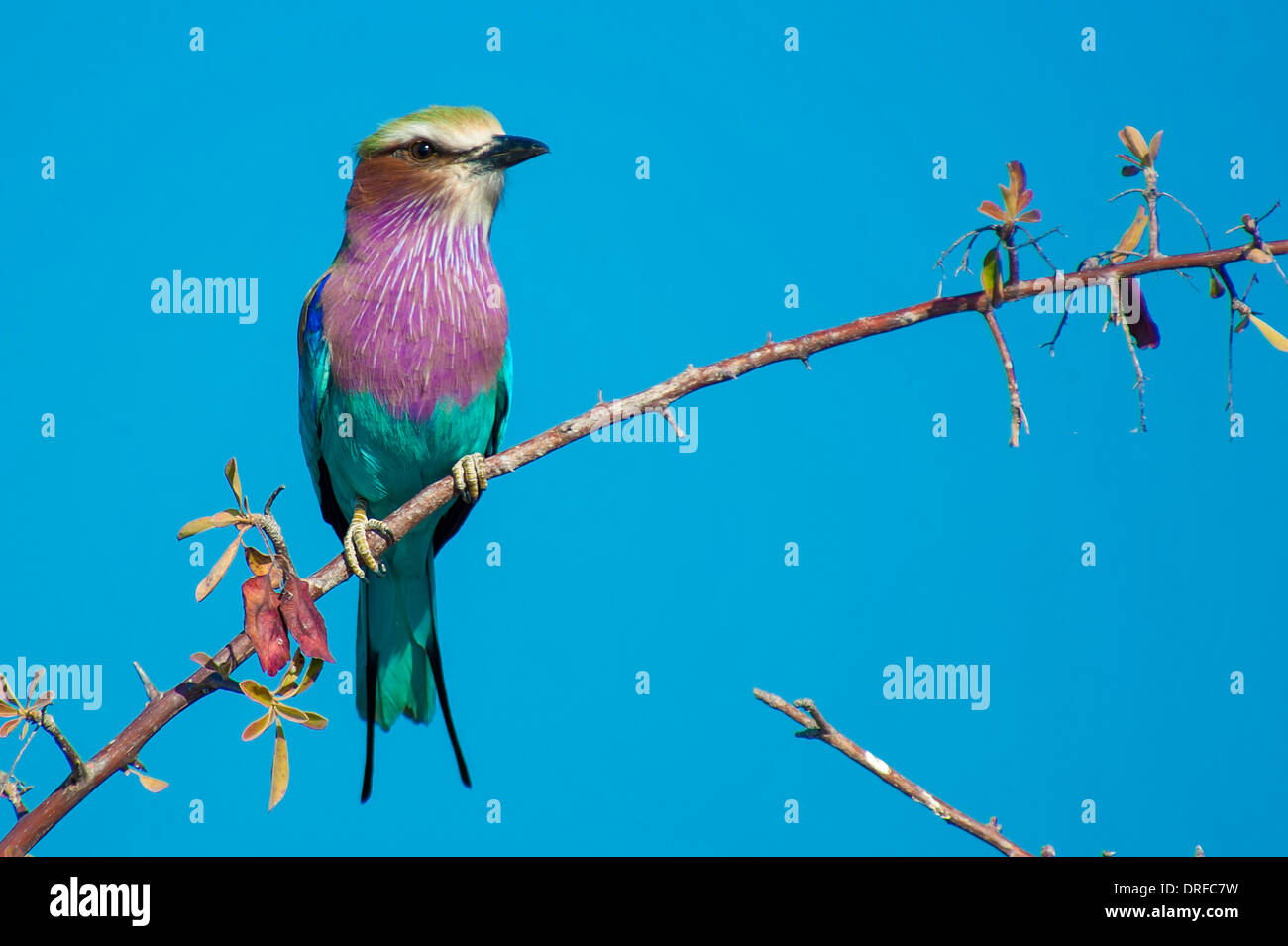 Lilac-breasted roller (Coracias caudata) - Stock Image