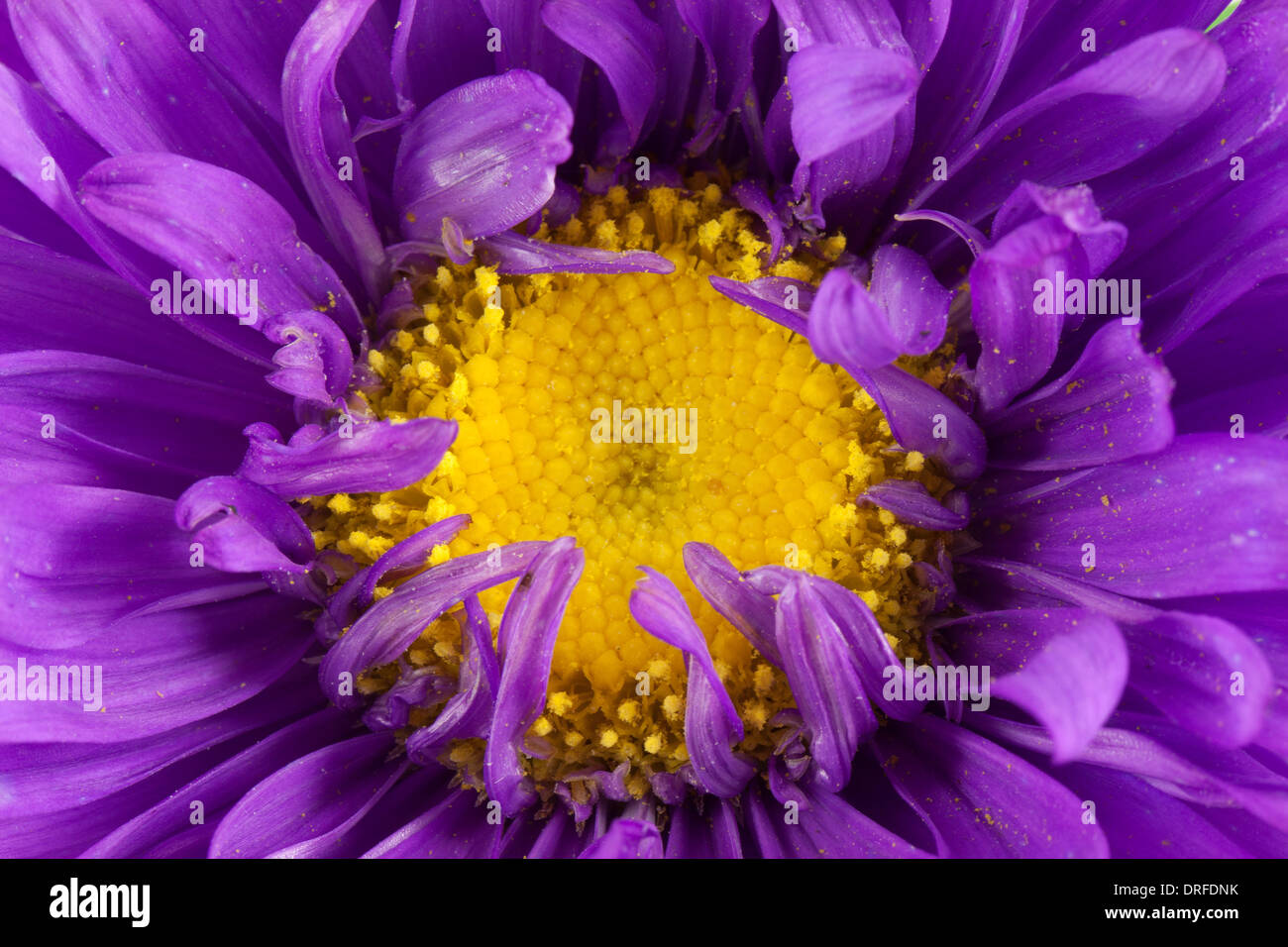 White flower with purple center stock photos white flower with purple flower stock image mightylinksfo