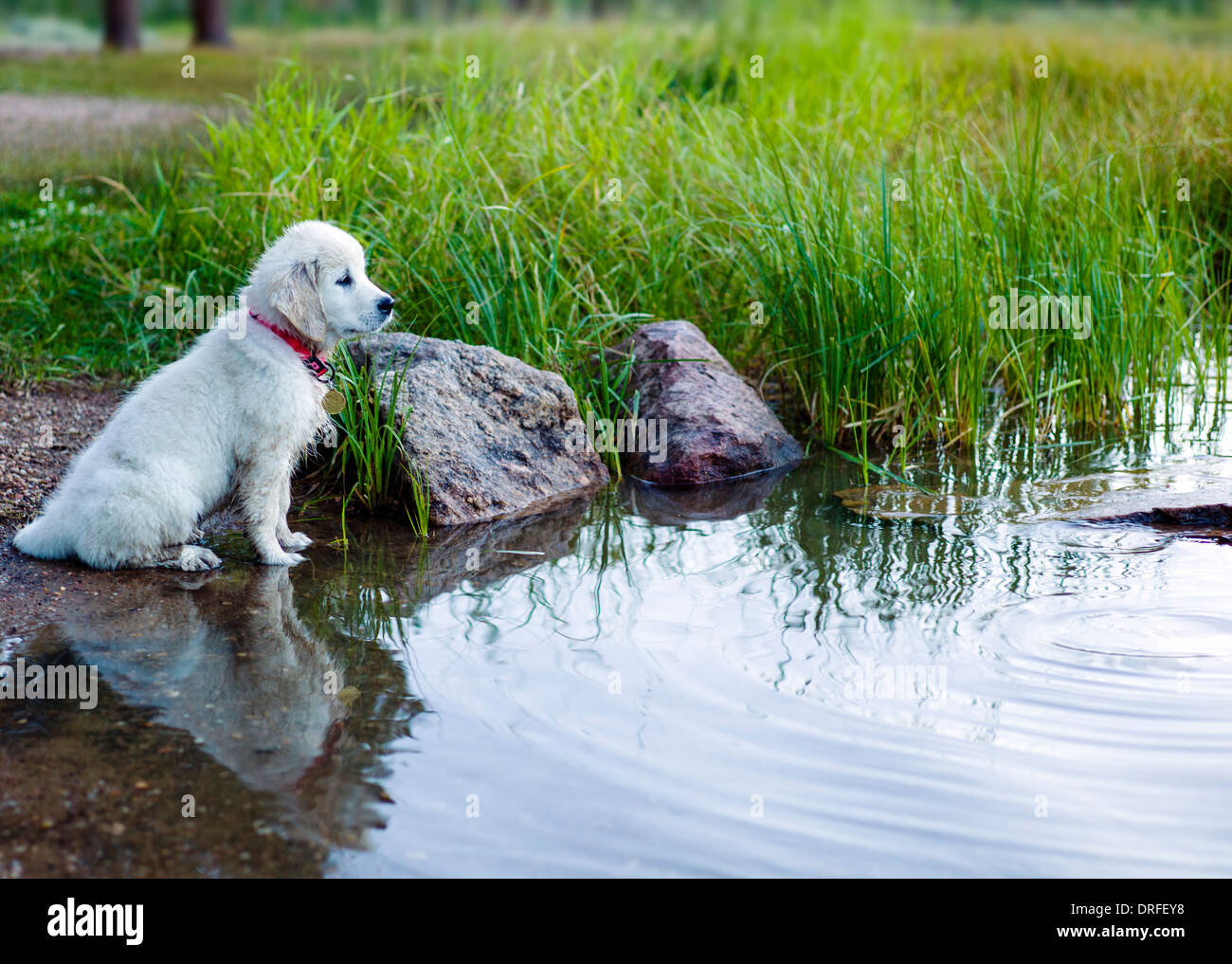 photo stock golden weeks platinum with adult colored retriever puppy playing
