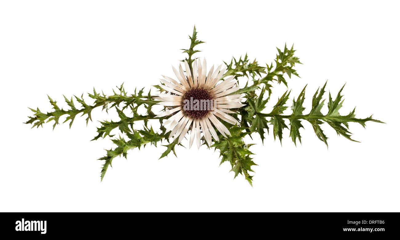 Stemless carline Thistle flower (Carlina acaulis) - Stock Image
