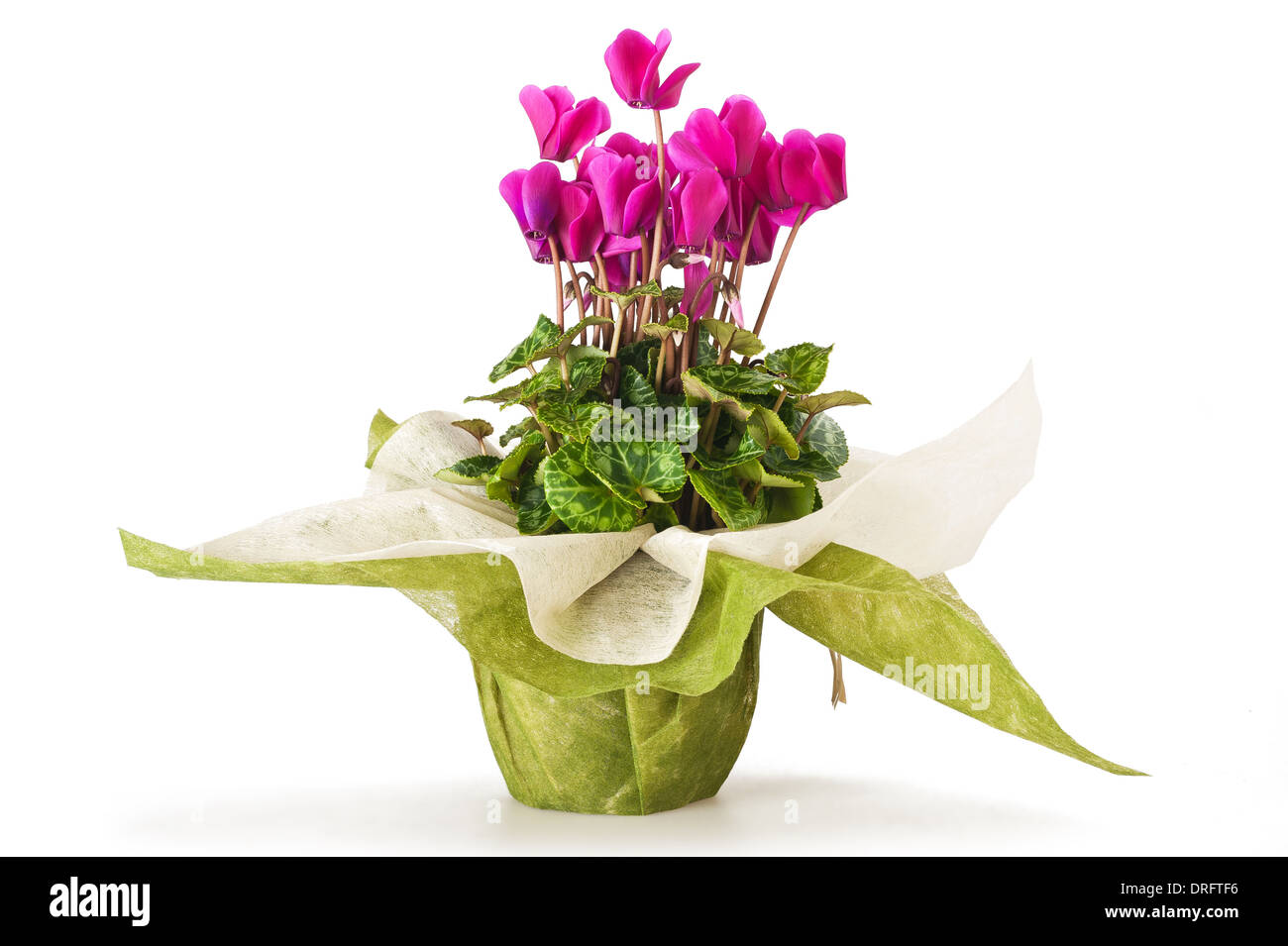 cyclamen flowers in pot isolated on white - Stock Image