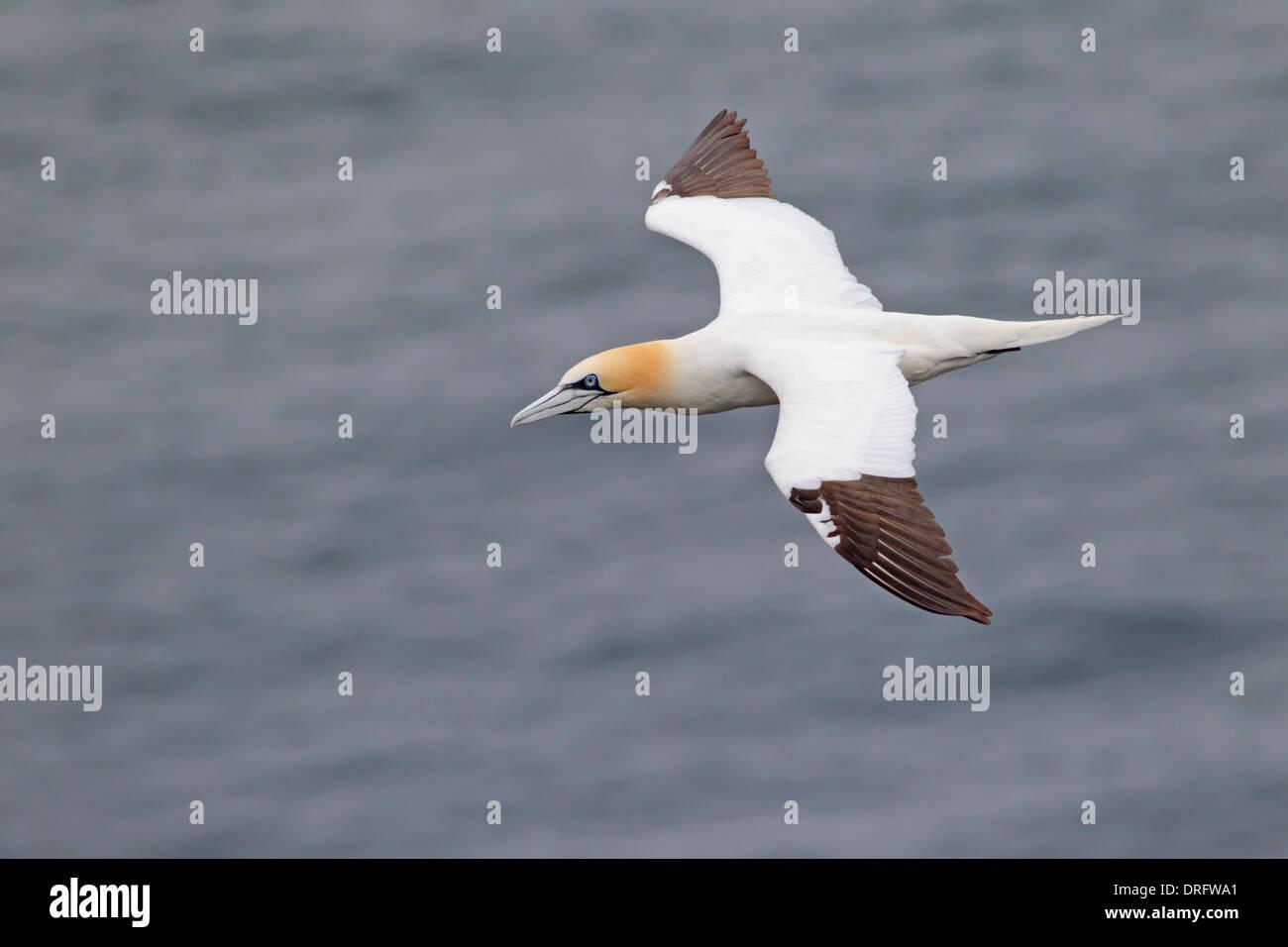 Adult Northern Gannet Morus bassanus in flight along the Shetland coastline - Stock Image