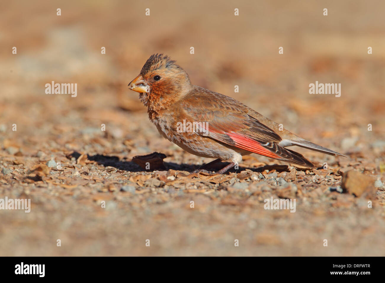 Crimson-winged Finch (Rhodopechys sanguinea aliena) North African subspecies, adult male, Morocco, March - Stock Image