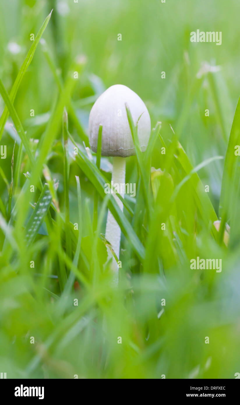 Small white non eatable mushroom in grass - Stock Image