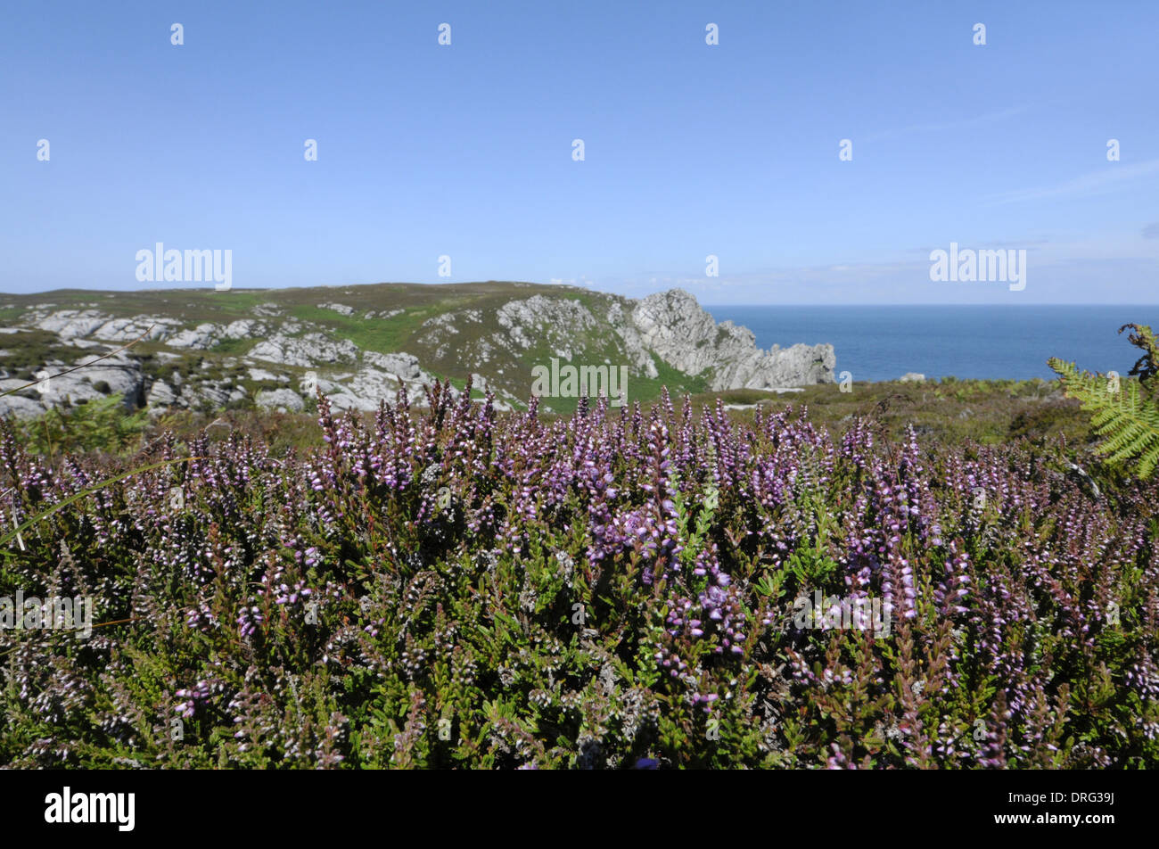 BELL HEATHER Erica cinerea (Ericaceae) - Stock Image